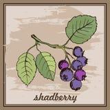 Il disegno passa lo shadberry nel telaio sui precedenti per la cottura e le etichette di giardinaggio royalty illustrazione gratis