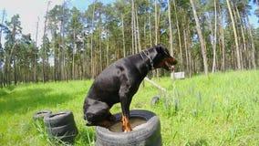 Il doberman del cane salta dal piedistallo al piedistallo, preparante i cani stock footage