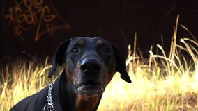 Il doberman del cane scorteccia video d archivio