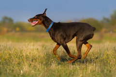 Il doberman esegue all'aperto Fotografie Stock