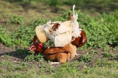 Il doit y avoir des poulets dans la campagne à chaque ferme images stock