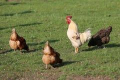 Il doit y avoir des poulets dans la campagne ? chaque ferme photographie stock