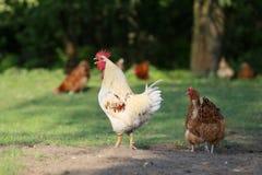 Il doit y avoir des poulets dans la campagne ? chaque ferme photos libres de droits