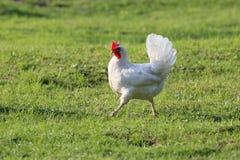 Il doit y avoir des poulets dans la campagne ? chaque ferme photos stock