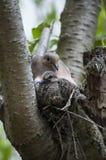Il dolore si è tuffato con il pulcino in nido fotografie stock libere da diritti