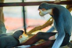 Il douc rosso--shanked sveglio (nemaeus di Pygathrix) è specie di vecchio Wo Immagine Stock