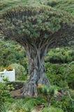 Il draco o Drago Milenario famoso della dracaena, ha trovato in Tenerife, isole Canarie, Spagna Fotografia Stock