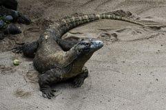 Il drago/Komodo Fotografia Stock