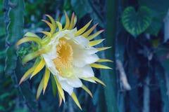 Il drago bianco fruttifica fiore Fotografia Stock Libera da Diritti