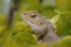 Il drago che dà sguardo grave fotografia stock libera da diritti