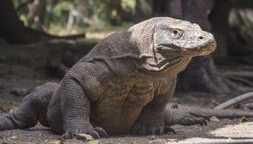 Il drago di Komodo si siede pazientemente l'attesa immagine stock