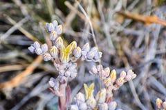 Il dudleya raro e pericoloso della valle di Santa Clara (ssp di Rosa di abramsii di Dudleya setchellii) che fiorisce nel sud San  fotografia stock libera da diritti