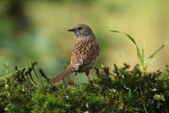 Il Dunnock è un grande piccolo uccello immagini stock