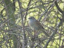 Il dunnock, le piccole passeriforme, o uccello appollaiantesi Immagine Stock