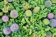 Il echinops verde fiorisce il fondo Vista da sopra Immagine Stock