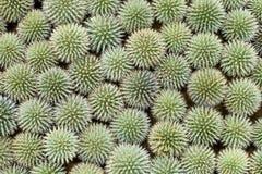 Il echinops verde fiorisce il fondo Vista superiore Fotografia Stock