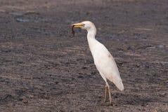 Il Egret di bestiame cattura la lucertola del Brown Immagine Stock