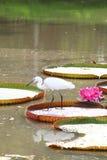 Il Egret sta cacciando sul foglio della Victoria waterlily Fotografie Stock Libere da Diritti