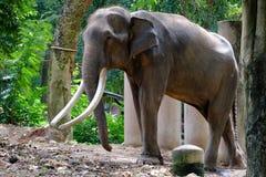 Il elephnat lungo dell'avorio della Tailandia è in carreggiata Fotografia Stock