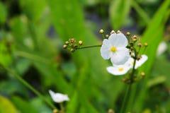 Il est plein des fleurs de pointe de flèche en parc images stock