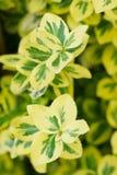 Il Euonymus ha variegato i fogli Immagine Stock