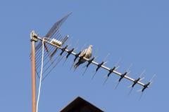 Il Eurasian ha messo un colletto la colomba fotografia stock libera da diritti