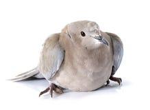 Il Eurasian ha messo un colletto la colomba immagine stock