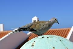Il Eurasian ha messo un colletto la colomba fotografie stock