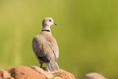Il Eurasian ha messo un colletto la colomba fotografia stock