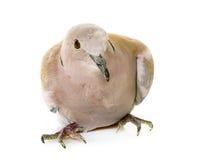 Il Eurasian ha messo un colletto la colomba fotografie stock libere da diritti