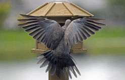 Il Eurasian ha messo un colletto la colomba immagini stock libere da diritti