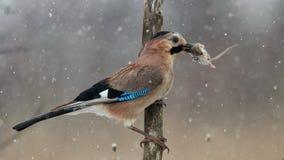 Il eurasian Jay nella neve si siede sul bastone con la preda fotografia stock libera da diritti