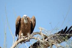 Il eurasian l'avvoltoio Gyps il fulvus BIKANER Fotografie Stock
