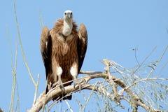 Il eurasian l'avvoltoio Gyps il fulvus BIKANER Immagini Stock Libere da Diritti