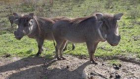 Il facocero comune mangia l'erba sulla terra stock footage