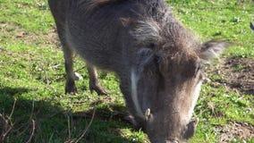 Il facocero comune si inginocchia e mangia l'erba sulla terra video d archivio