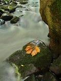 Il faggio arancio va sulla pietra muscosa sotto il livello dell'acqua aumentato.   Immagini Stock