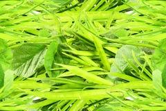 Il fagiolo di mazzo o il guar fresco canta la verdura indiana immagine stock