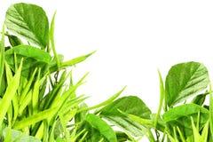 Il fagiolo di mazzo o il guar fresco canta la verdura indiana nel fondo bianco fotografie stock libere da diritti