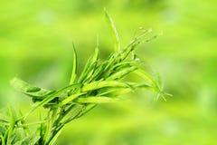 Il fagiolo di mazzo o il guar fresco canta la verdura indiana nel fondo di unfocus Fotografie Stock
