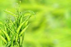 Il fagiolo di mazzo o il guar fresco canta la verdura indiana nel fondo di unfocus Fotografia Stock Libera da Diritti