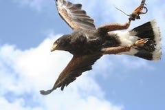 Il falco Immagini Stock