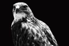 Il falco Fotografia Stock