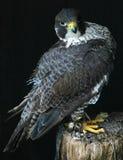 Il falco appollaiato Fotografie Stock