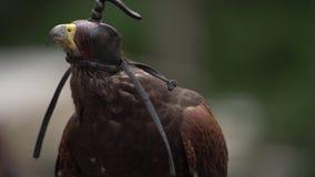 Il falco con la copertura capa di cuoio che si siede sopra equipaggia la mano Falco selvaggio del saker con il casco d'abbaglio a stock footage