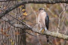 Il falco del bottaio Fotografia Stock