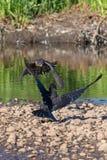 Il falco del bottaio che opprime un corvo nel Canada fotografia stock libera da diritti