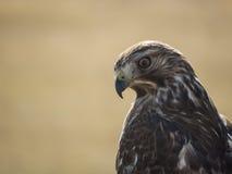 Il falco del bottaio (cooperii del accipiter) Fotografia Stock