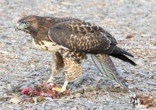Il falco del bottaio, cooperii del Accipiter, mangiante uno scoiattolo Immagini Stock