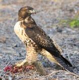 Il falco del bottaio, cooperii del Accipiter, mangiante uno scoiattolo Immagini Stock Libere da Diritti